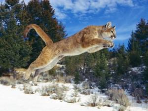 Kanadischer Puma im Sprung auf Beute